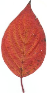 Dogwood from Hermitage Creek (scan of leaf)