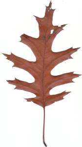 red oak leaf from Hermitage Creek