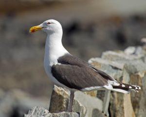 """Great Black-backed Gull Larus marinus"" by Andreas Trepte - Own work. Licensed under CC BY-SA 2.5 via Wikimedia Commons."