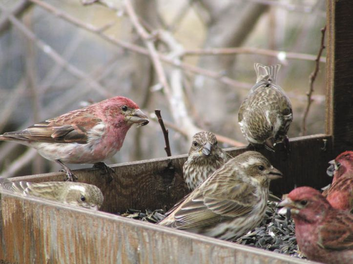 purple-finch-at-feeder_opt.jpeg