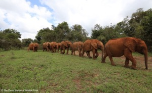(Copyright The David Sheldrick Wildlife Trust) Click on image to enlarge.